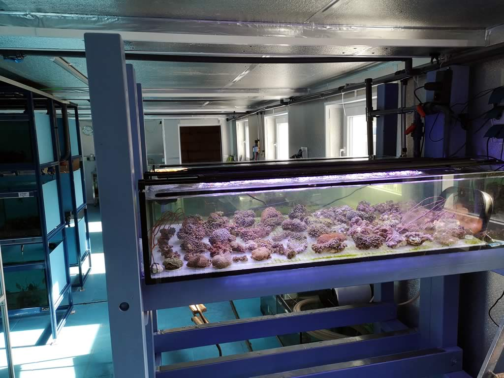 Nemo-Aquaristik Zuchtbereich Korallen