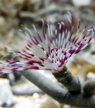 Bispira tricyclia - Rosafarbener Röhrenwurm