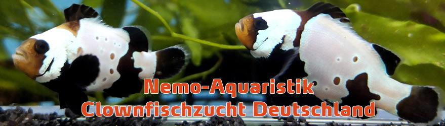 Clownfischzucht Deutschland