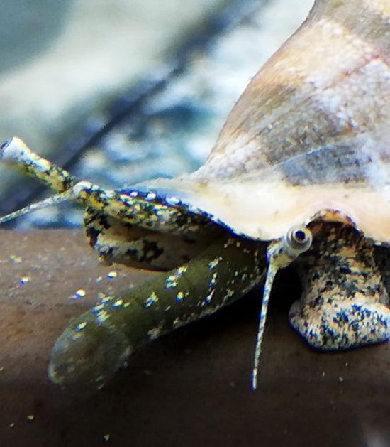 Gibberulus Flügelschnecke