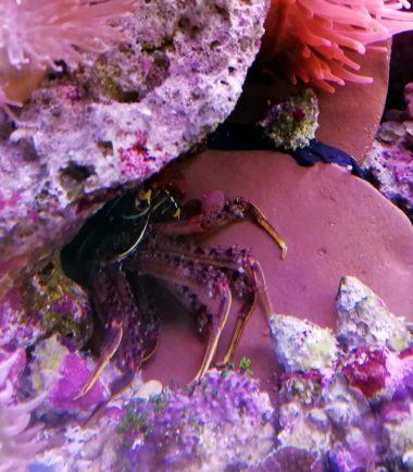Krabbe als Algenfresser