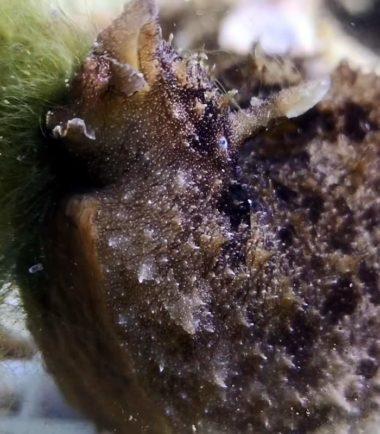 schwarzer Seehase