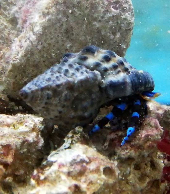 Calcinus elegans - Blauer Halloween-Einsiedlerkrebs