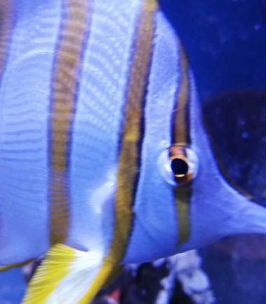 Orangebinden Pinzettfisch