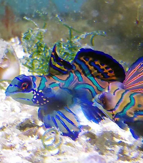 Synchiropus splendidus - Mandarinfisch Leierfisch