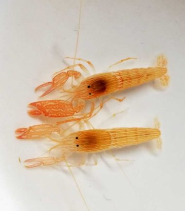 Alpheus ochrostriatus-lineatus Ockerstreifen-Knallkrebs