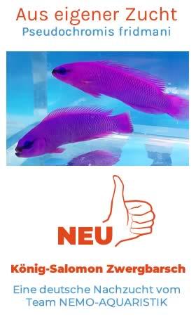 Pseudochromis fridmani – deutsche Nachzucht