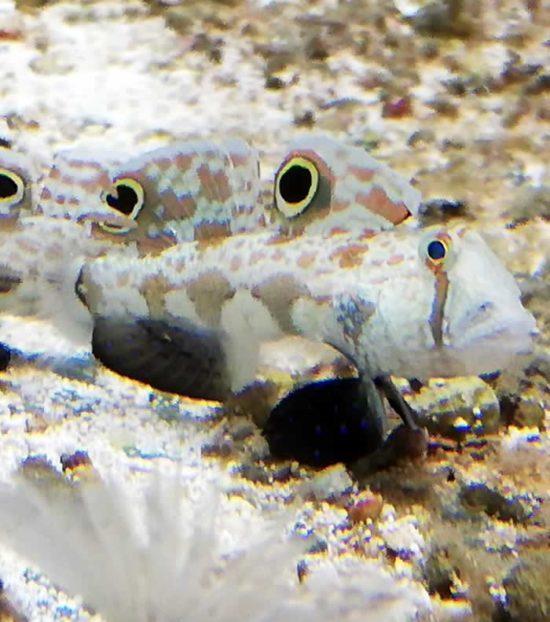 Signigobius biocellatus - Krabbenaugengrundel