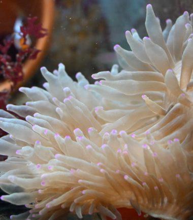 """Entacmaea quadricolor - Blasenanemone """"farbige Tipps und Fuß"""" 2"""