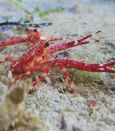 Munida sp. Langarm-Springkrebs 3
